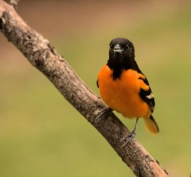 Baltimore Oriole by dove-51