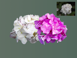 Exclusive stock - Rhododendron by DinowCookie