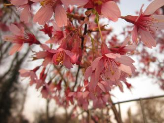 Beautiful Blossom by chloexlolx