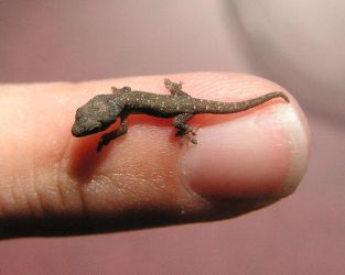 Yellow Headed Gecko Hatchling by GreenIguana