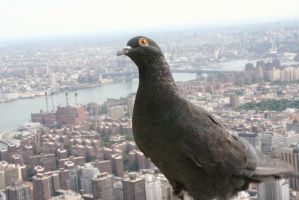 Empire Pigeon by thzinc