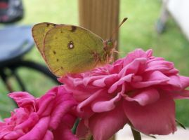 Butterfly On Roses by GooperBlooper22