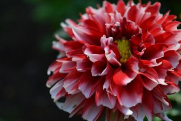 Red-white flower by Thrombinum