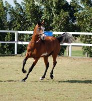 GE Pinto arab trot turn front 3/4 by Chunga-Stock