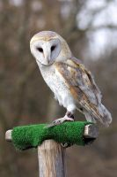 Owl 02 Stock by lokinststock