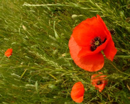 poppies on the Via Appia by nathanieljc