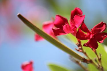 Spanish Pink flowers by Meterious