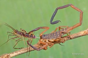 There's always a bigger arthropod.. by melvynyeo