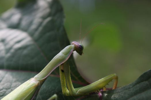 Praying mantis 2 by wopsow