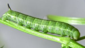 Macroglossum Stellatarum caterpillar day 5 by AltairSky