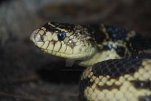 Portrait: Louisiana Pine Snake by ManitouWolf