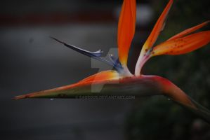 Birds of Paradise - Flower 05 by Sageous