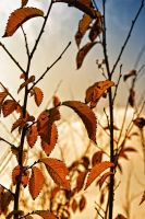 Autumn Leaves by ItSurroundsMe