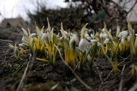 snowdrops by bliudroid