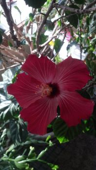 Hibiscus Flower by ecc0w0lf