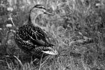 Beauty BlackAndWhite Female Duck by LoveForDetails