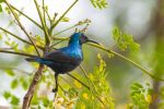 Purple Sunbird by DebasishPhotos