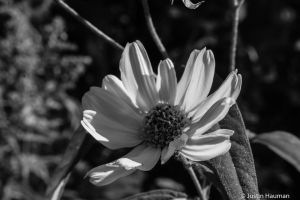 BnW flower and shadow by pendrachken