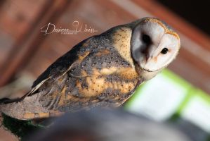 Barn Owl by DYWPhotography