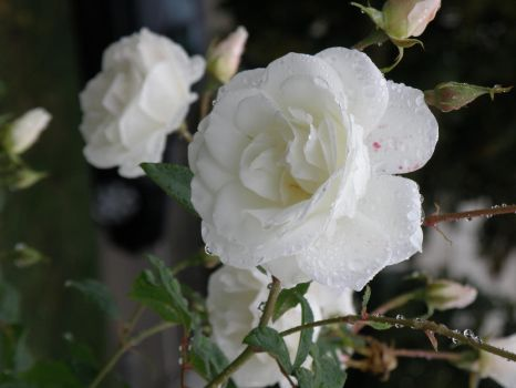 White Rose by A-Xander