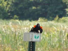 Red-winged Blackbird: The Call by Puppy-41
