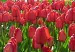 Bright red tulips by estump