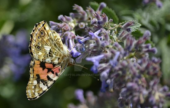 Butterfly on a Buddleia by Septolum