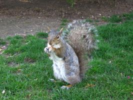 Squirrel 1 by MapleRose-stock