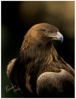 Golden Eagle portrait by Emberiza
