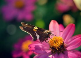 Silver-spotted Skipper by Spademm