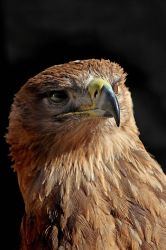 Tawny Eagle (Indian) 01 by s-kmp