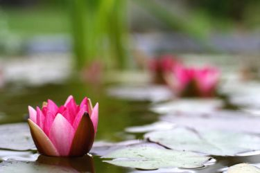 water lily 2 by Altrial