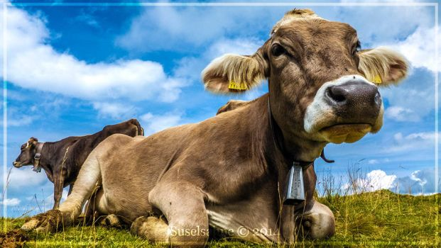 cow on alpine pasture II by Suselsahne
