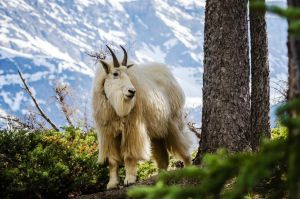 Mountain Goat - Good side by JestePhotography