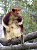 Goodfellow Tree-Kangaroo by fivesocks