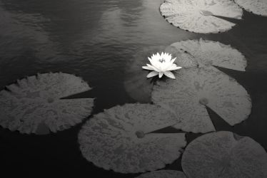 Water Lilly by cdijulius