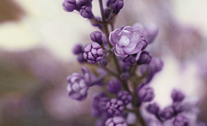 Lost purple by lallirrr-photography
