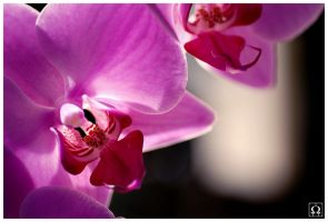Orchids by omegach