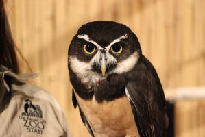 Spectacled Owl by FruityFruitBat33