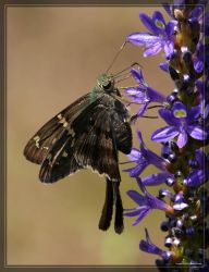 Long-tailed Skipper 40D0021572 by Cristian-M