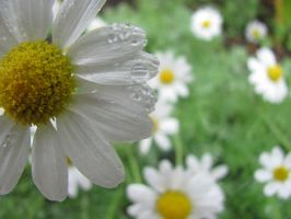 Oh my Daisies. by Sofi-a