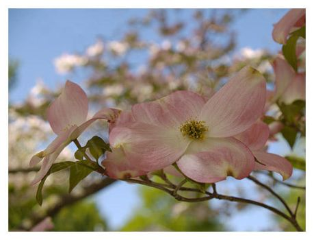 Pink Dogwood III by Tlemetry