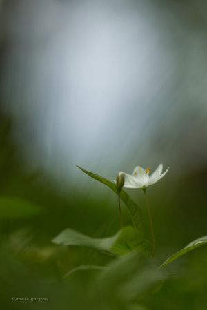 A Chickweed in the forest by roisabborrar