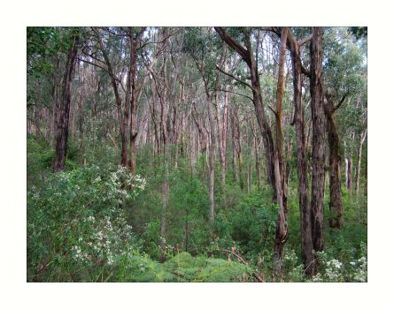 Eucalypt Forest by redmatilda