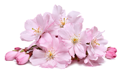 Cherry Blossoms PNG by LG-Design