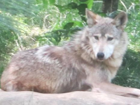 Mexican Wolf by TheWalrusclown