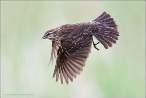 Red-winged Blackbird (female) by kootenayphotos