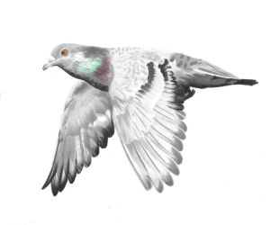 Rock Pigeon by Adlaya