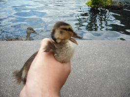 Caught a quacker by XD-385