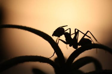 Ant Silhouette by HONEST-STYLE